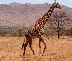 Maasa-Giraffe